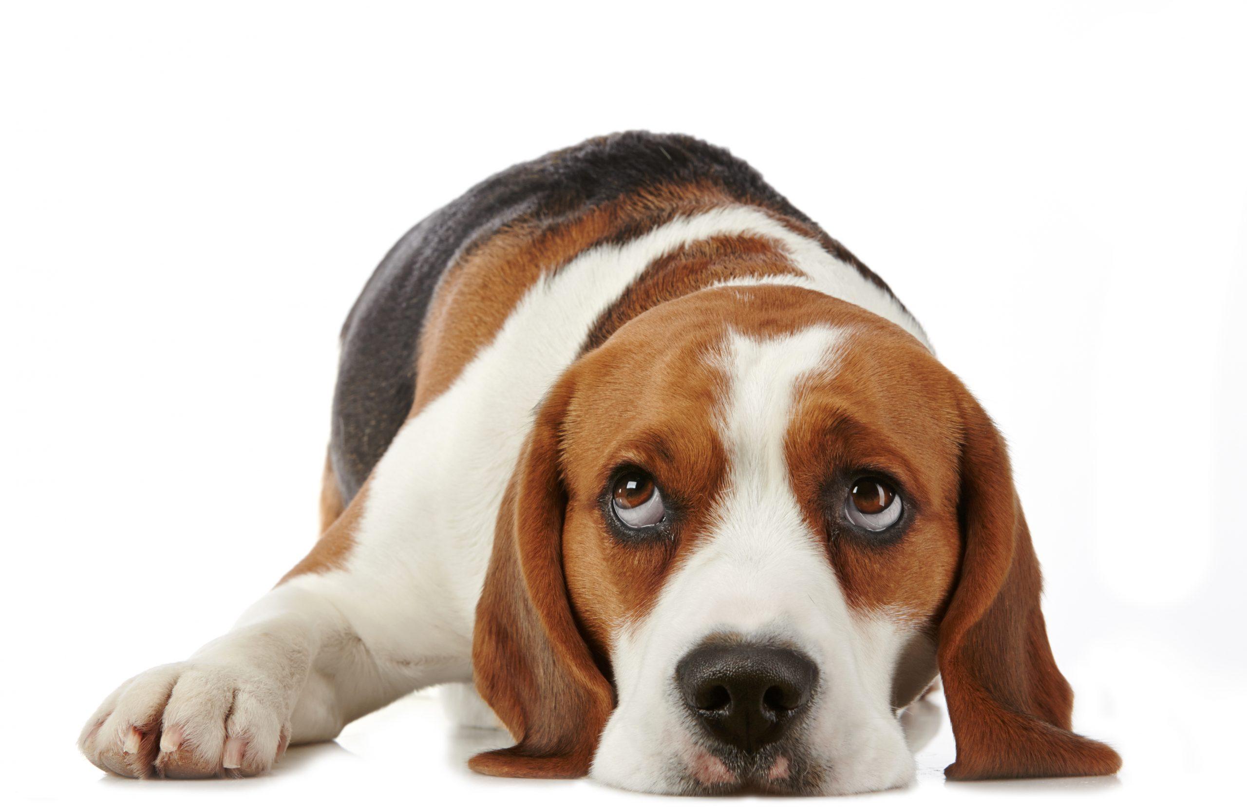 emotional support animal, dog